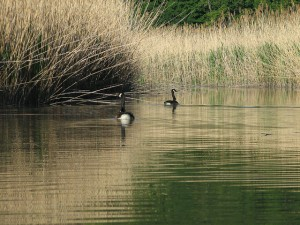Canada Geese among the Phragmites in the Piermont Marsh